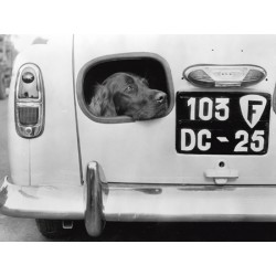 DOG PEERING FROM HOLE IN REAR OF CAR, 1957