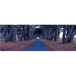MONTEREY CYPRESS TREES, POINT REYES, CALIFORNIA
