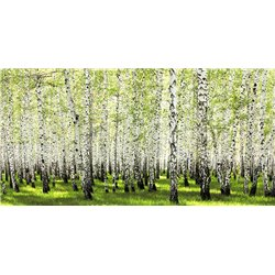 Birch forest in spring