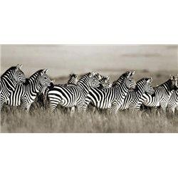 Grant's zebra, Masai Mara, Kenya