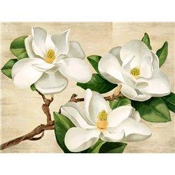 Magnolie bianche