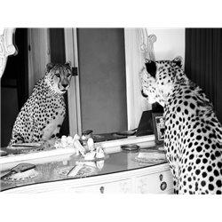 Cheetah looking in mirror