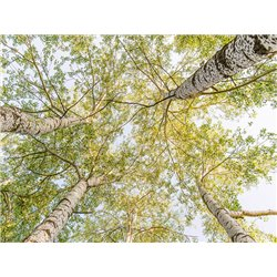 Birch woods in spring