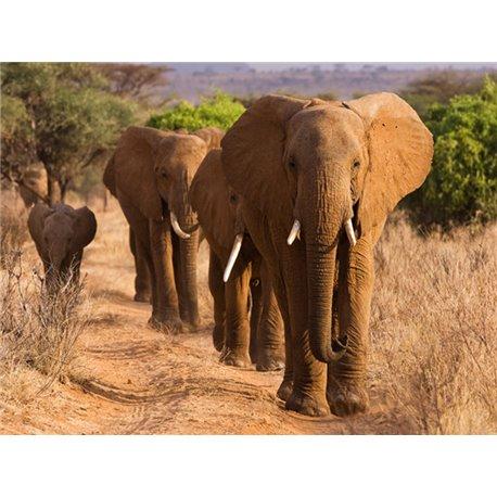 Herd of African Elephants, Kenya