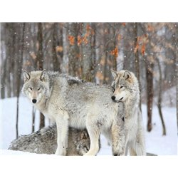 Grey wolves huddle together during a snowstorm, Quebec