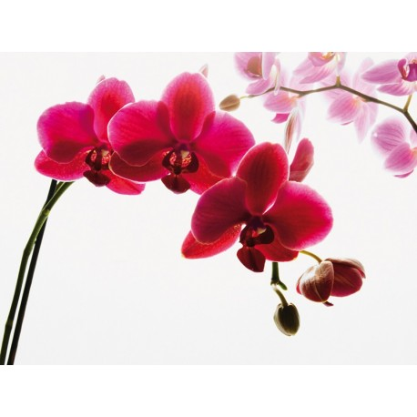ORCHID A 001